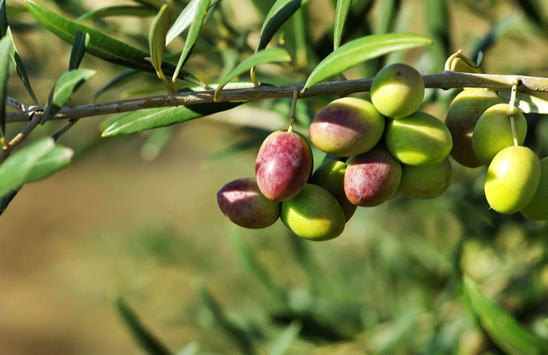 Green olives growing on tree branch