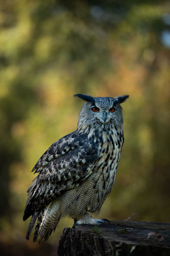 Eyeem Birdphotography EyeEm Birds Nature_collection Nature Photography Animal Wildlife Birds_collection Birds Of EyeEm  Birds Bird Of Prey Close-up Focus On Foreground No People Nature Bird One Animal Animal Themes Animal Bubo Bubo Eagle Owl  Eagle Owl Portrait Eurasian Eagle Owl