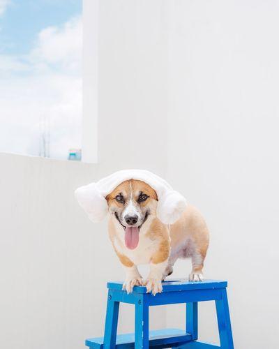 Portrait of pembroke welsh corgi with towel on ladder