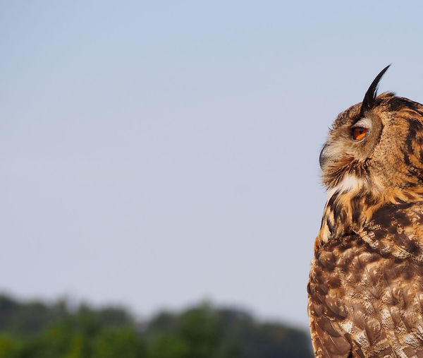 Close-up of eurasian eagle owl looking away against clear sky