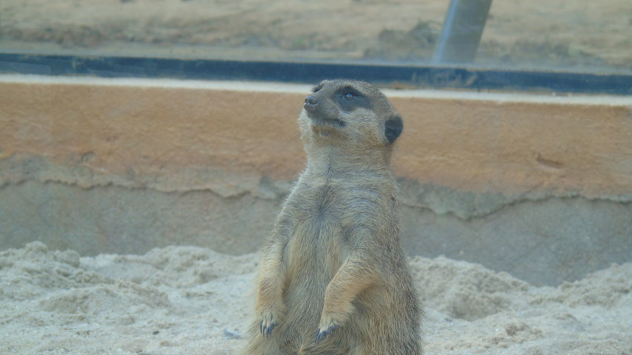 one animal, meerkat, animals in the wild, animal themes, day, animal wildlife, outdoors, no people, mammal, standing, nature, close-up