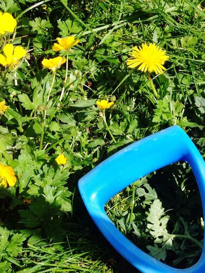Flower Dandelions Growth Green Color Nature Yellow Outdoors Beauty In Nature Freshness Fragility Grass Flower Head Blue Handle Plant Day Leaf Close-up