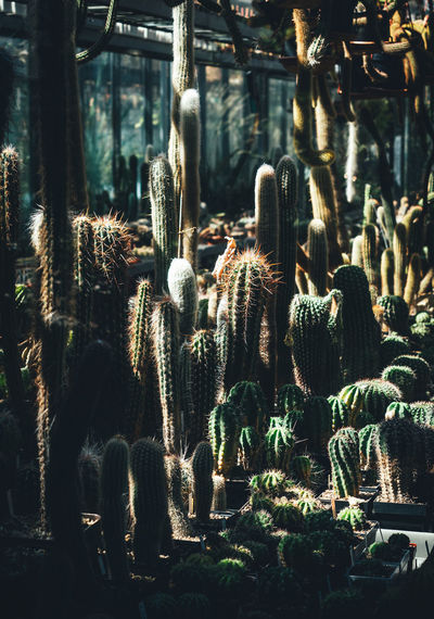 Close-up of cactus growing in greenhouse