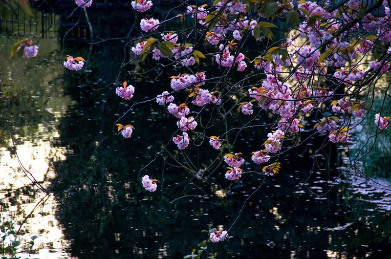 Dark water against the pale flowers works quite well I think. Beauty In Nature Cherry Blossoms City Evening Flower Fragility Glasgow  Golden Hour Kelvingrove Lake Landscape Nature No People Outdoors Park Parking Pink Color Pond Reflection Scotland Tree Water Fine Art Photography