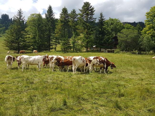 Animal Themes Domestic Animals Cow Grazing Grass Togetherness Group Of Animals Nature Agriculture Freiburger Alpen Kühe Myswitzerland Landwirtschaft Schweiz 🇨🇭, Switzerlandpictures