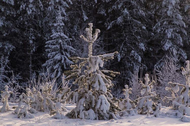 Tree Snow Snow