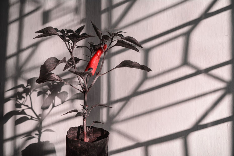 Plant Nature No People Growth Flower Plant Part Shadow Leaf Day Flowering Plant Focus On Foreground Outdoors Red Close-up Beauty In Nature Plant Stem Sunlight Decoration Built Structure Flower Head Shadows & Lights Nikon D5200 Chilli