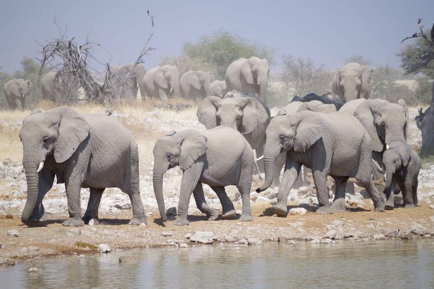 Etosha Namibia Namibia Landscape Namibia Desert Etosha National Park Etosha Wildlife African Elephant Water Elephant Tree Safari Animals Drinking Sky Wildebeest Animal Family
