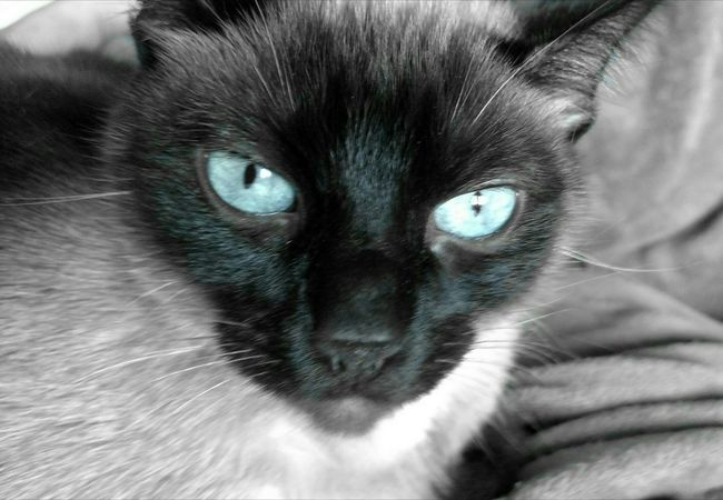 Nooni Blue Eyes Kitty Love Cat Eyes Cats Up Close And Personal Cat Lovers Petlover Meow Black & White Color Splash Nooni Cats Of EyeEm Kitty Stare Domestic Animals Check Me Out Domestic Cat Animal Themes Feline No People Pets Check This Out What Are YOU Looking At? One Animal