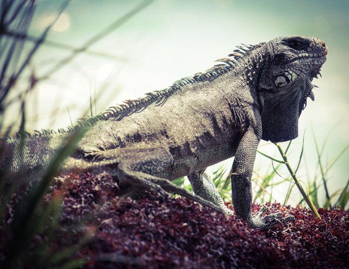 Varan Monitor Lizard Pointe à Pitre Nature Wildlife One Animal Animals In The Wild