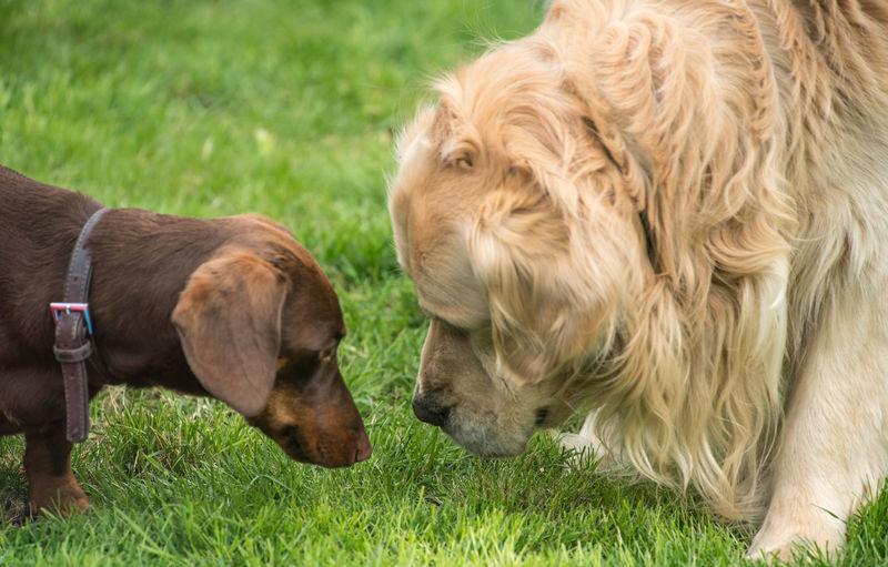 Their first encounter Dogs Golden Retriever Grass Meeting Canine Dacshund Garden Nose To Nose Two Dogs