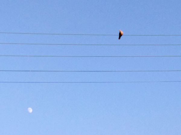 Bird Perching Blue Clear Sky Bird Of Prey Moon Cable Sky