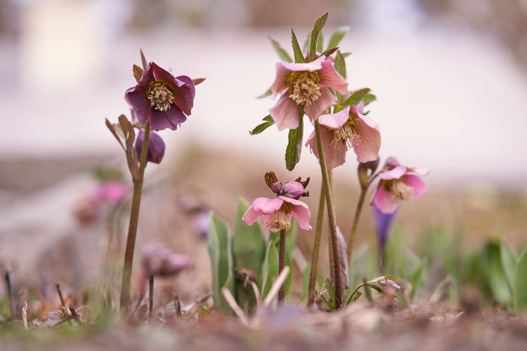 Flowering Plant Flower Plant Freshness Vulnerability  Beauty In Nature Fragility Selective Focus Close-up Growth Petal Nature No People Day Flower Head Inflorescence Pink Color Land Outdoors Field Purple First Eyeem Photo