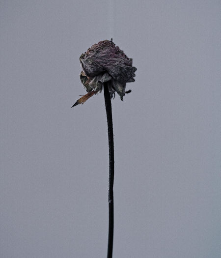Low Angle View Of Wilted Rose Against Sky