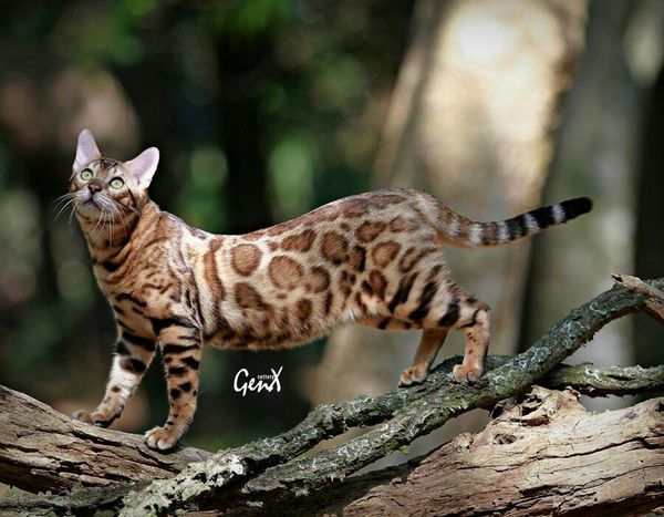 Cats Pets Animal Meow My Cats Bengal Cat Cute Pets EyeEm Indonesia Petstagram Pet Photography