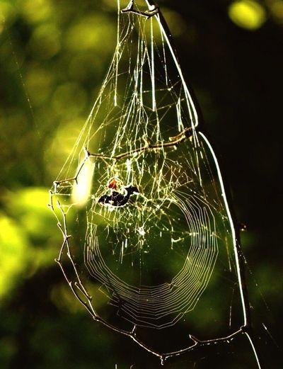 Spider Webb...