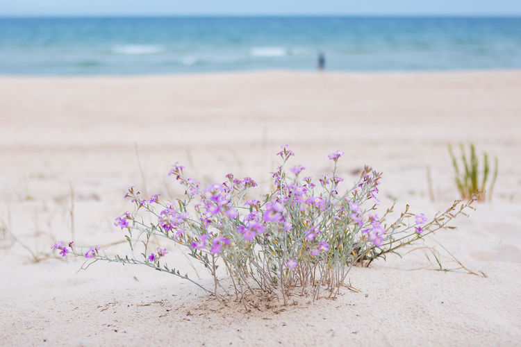 Beach Land Sea Sand Water Beauty In Nature Plant Pink Color Flower Nature Flowering Plant Horizon Over Water Tranquility Horizon Day No People Scenics - Nature Sky Tranquil Scene Outdoors Purple