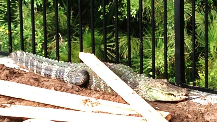 Nature On Your Doorstep Deland Florida Gators Vicgardens Sunnin It Resident Gator at Victoria Gardens, Deland Florida