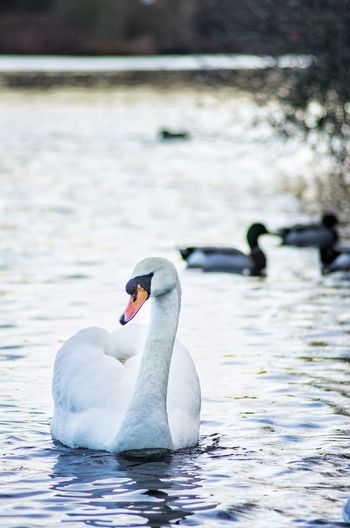 Close-up of swan swimming in lake