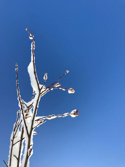 Contrast Season Blue Clear Sky Low Angle View Copy Space Nature Day Outdoors Branch Bare Tree Sky No People Beauty In Nature Tree Close-up