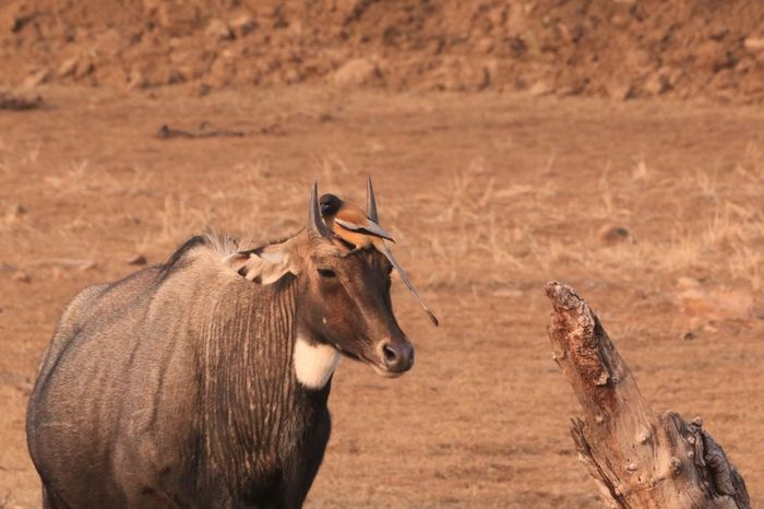 Tiger tail bird and wild cow Tigertail Bird Ranthambore National Park Wild Cows Animals In The Wild Animal Themes Day Field No People Mammal Animal Wildlife Nature Outdoors