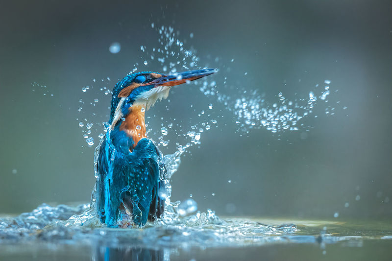 Wet kingfisher splashing in water