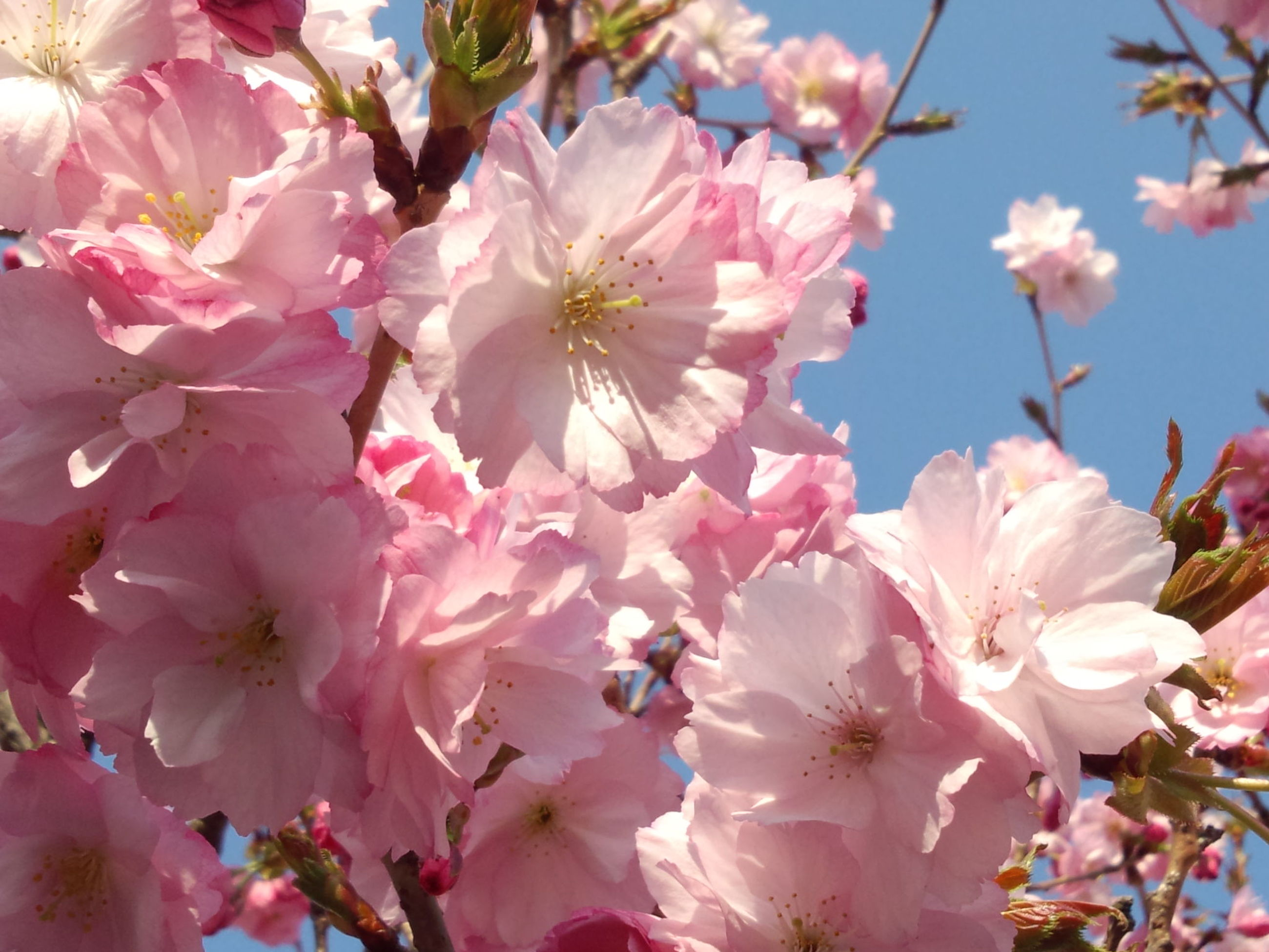 flower, freshness, pink color, growth, fragility, beauty in nature, branch, tree, low angle view, nature, cherry blossom, petal, blossom, close-up, cherry tree, pink, blooming, in bloom, springtime, focus on foreground