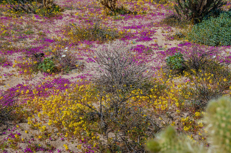 Anza Borrego Desert Flowers Flower Plant Beauty In Nature Flowering Plant Growth Nature Purple Freshness Pink Color No People Land Vulnerability  Outdoors Fragility Day Yellow Multi Colored Botany Tranquility High Angle View Flowerbed Ornamental Garden Anza Borrego