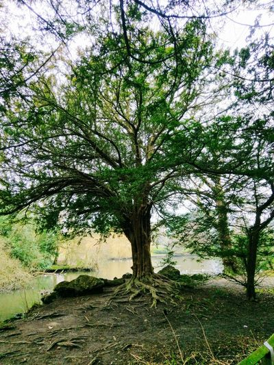 Tree Nature Tranquility Growth Green Color Outdoors Nature On Your Doorstep Nature At Its Best Naturelover Tree Branches Tree Roots  Nature Photography