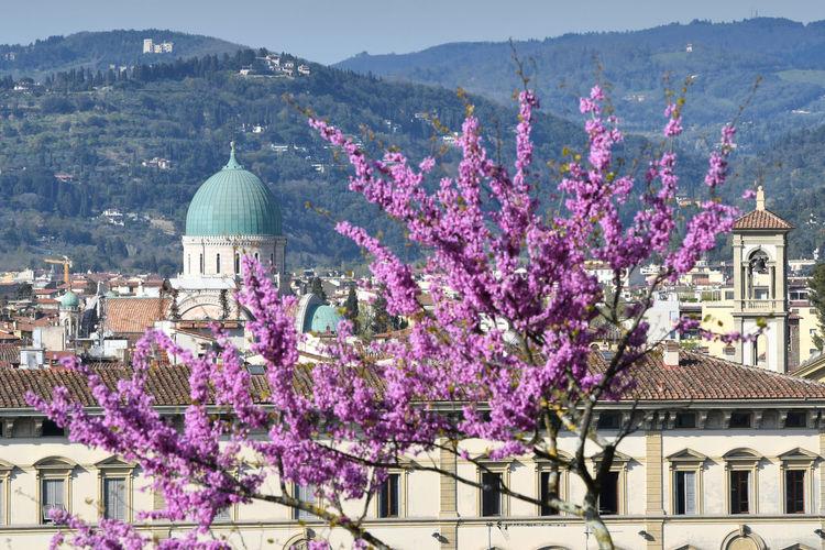 Purple flowering tree by buildings in city