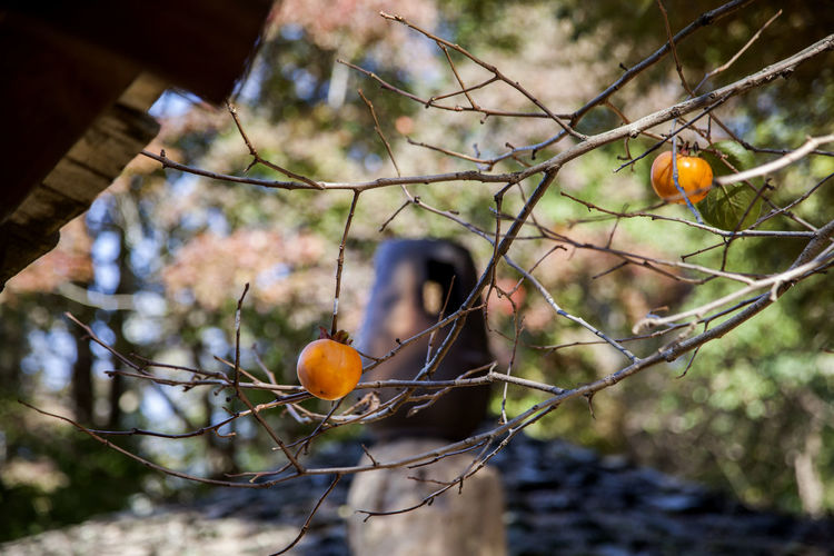 Low angle view of persimmons on twig