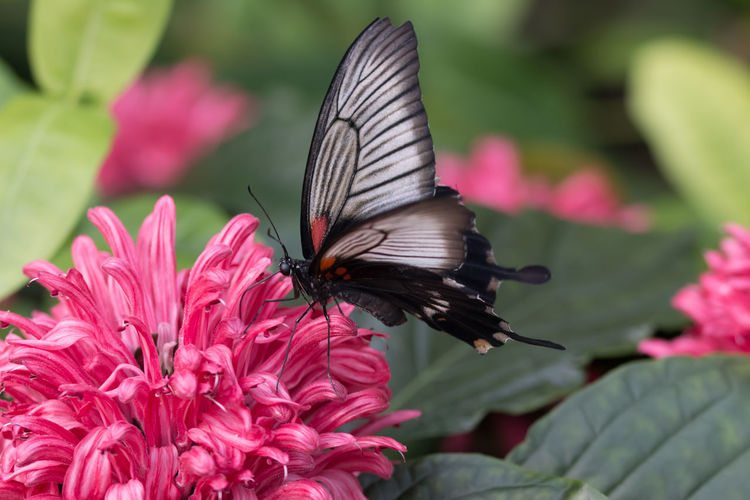 Butterfly captured in macro - Black and white, on a pink flower Animal Themes Butterfly Butterfly - Insect Close-up Flower Flowers Insect Macro Macro Beauty Macro Photography Macro_collection Nature Nature Photography Nature_collection Naturelovers One Animal