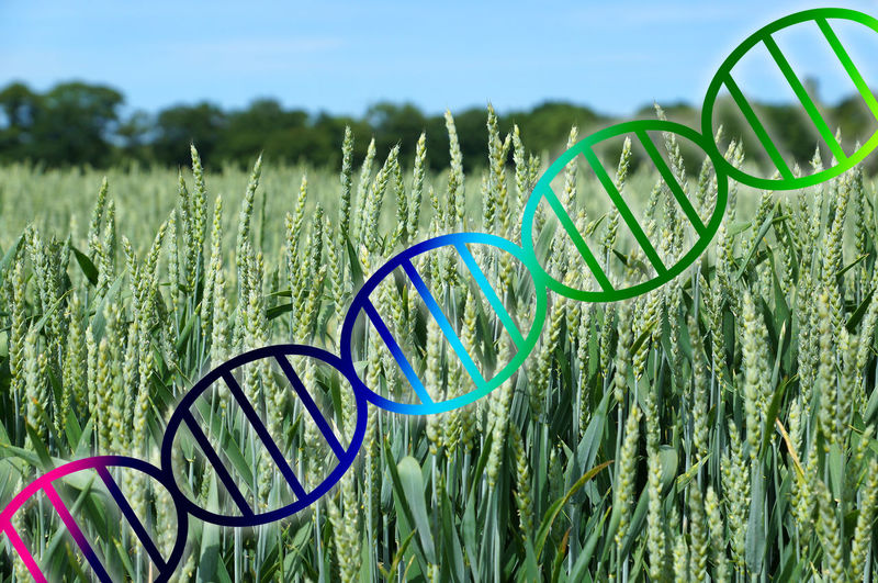 Double Helix GMO Genome Wheat Agriculture Crop  Dna Field Gene Genetic Genetic Engineering Genome Editing Growth Modification Modified Plant