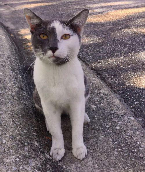 Befriended street cat. No name, yet. Feline Cat Feral Cat Grey Cat White Cat Asphalt Curious Self Reliance Tough Life One Animal Looking At Camera Portrait No People Day Outdoors Gold Eyes Spots Two Tone