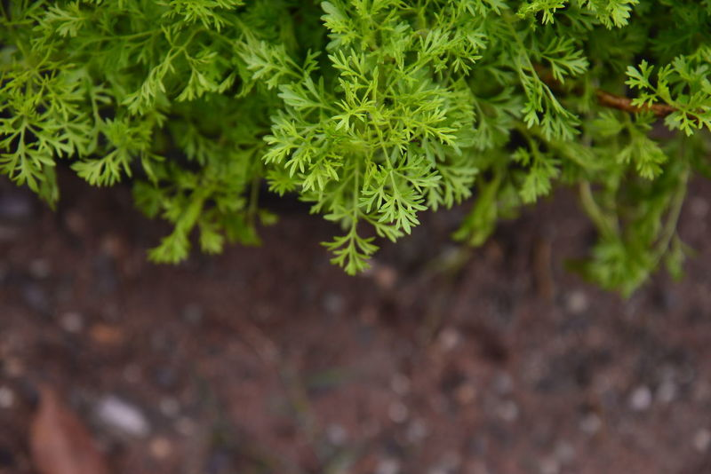 Beauty In Nature Freshness Green Color Growth Land Leaf Nature Plant Selective Focus ผัก ผักชี พื้นดิน