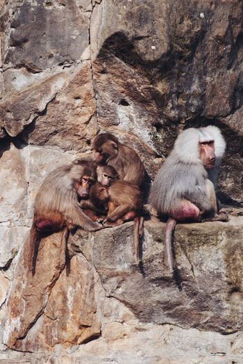 Animals In The Wild Animal Family Primate Animal Themes Monkey Togetherness Animal Wildlife Rock - Object Mammal Female Animal Young Animal No People Ape Day Outdoors Baboon Nature