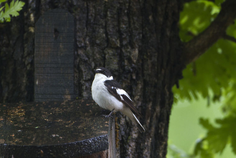 Animal Themes Animal Wildlife Animals In The Wild Bird Bulgaria Collared Flycathcer Ficedula Albicollis One Animal
