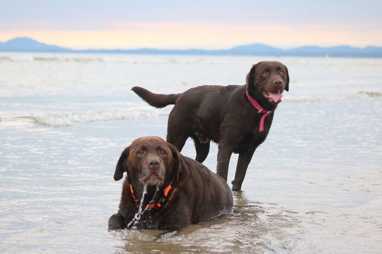 Two labrador on beach
