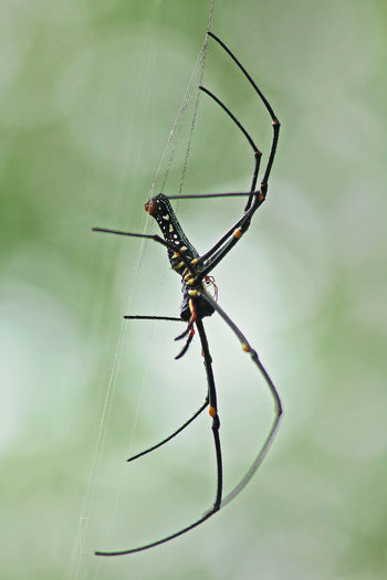 Gaint Long-jawed Orb-weaver