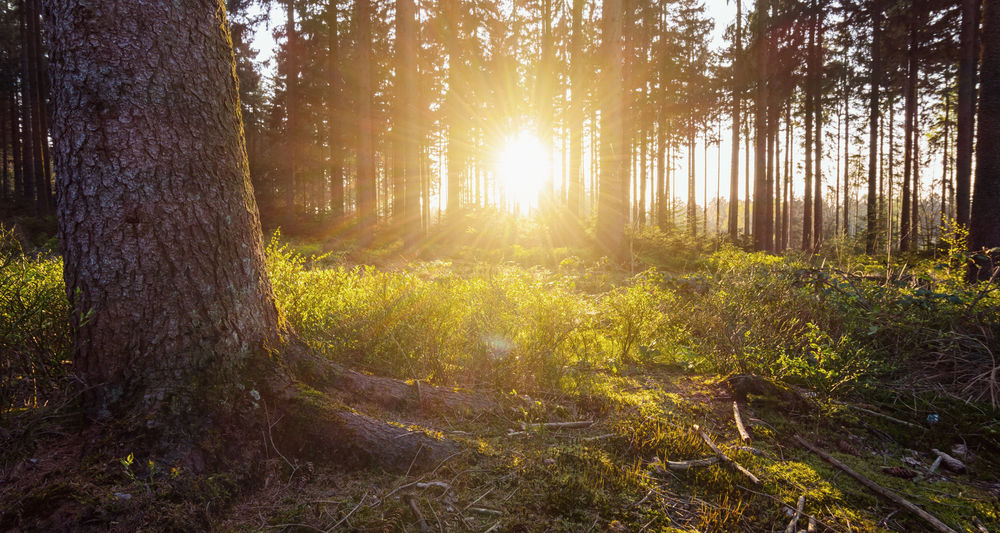 Sunset lights in a deep forest Needlewood Tree Trunk WoodLand Beauty In Nature Day Deep Woods Forest Growth Landscape Nature No People Outdoors Scenics Summer Sun Sunbeam Sunbeams Sunlight Sunrise Sunset Tranquil Scene Tranquility Tree Tree Trunk WoodLand