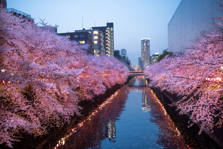 Canal amidst cherry blossoms in city at dusk