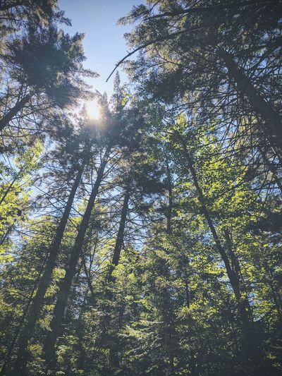 Woods Forest Forest Photography Low Angle View Tree Growth Nature Branch Beauty In Nature Green Color Outdoors Day No People Sky Backgrounds Freshness Adirondacks Adirondack Mountains Adirondackmountains Beauty In Nature Trees And Sky Trees And Nature Trees