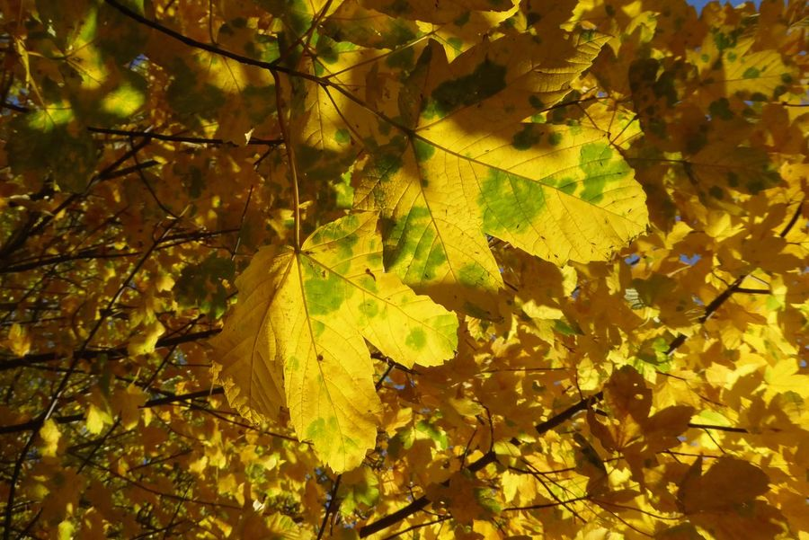Autumn Autumn Colors Autumn Leaves Autumn🍁🍁🍁 Beauty In Nature Branch Change Close-up Day Eyem Nature Lovers  Herbstlicht Herbststimmung Herbsttage Leaf Leaves Low Angle View Maple Leaf Nature No People Outdoors Sunlight Tree Urban Landscape Urban Nature