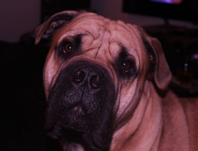 Pets One Animal Domestic Animals Animal Themes Mammal Close-up No People Animal Purebred Dog Indoors  Looking At Camera