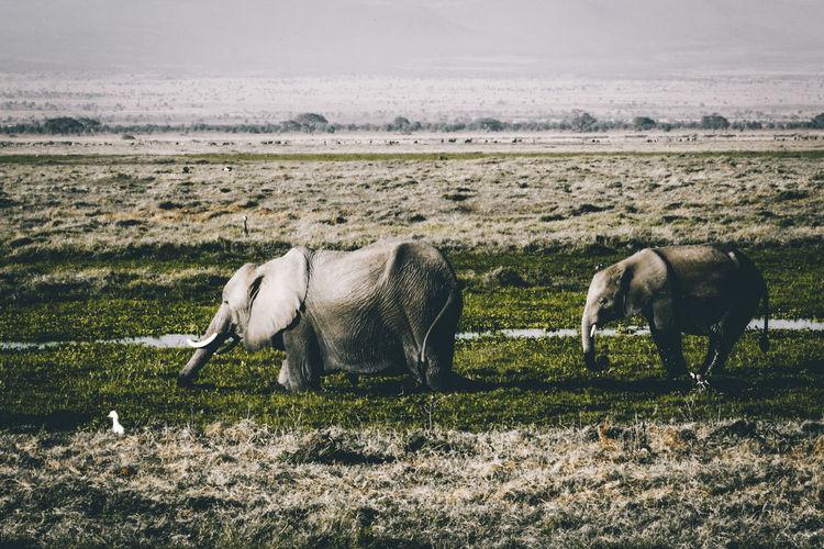 Elephants Grazing On Field