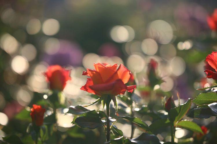 迷いながら色々試して🌹 一目惚れんず Flower Red Nature Plant Petal Beauty In Nature Blossom Fragility No People Close-up Multi Colored Flower Head Poppy Outdoors Growth Fashion Show Day Botanical Garden Freshness 🎦美人と野獣また見たい😆