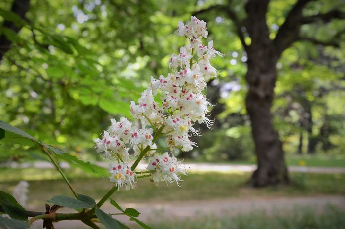 Beauty In Nature Blossom Branch Chestnut Flowers Chestnut Tree Close-up Day Flower Flower Head Flowering Plant Focus On Foreground Fragility Freshness Growth Nature No People Outdoors Park Pink Color Plant Springtime Tree Vulnerability  White Flowers