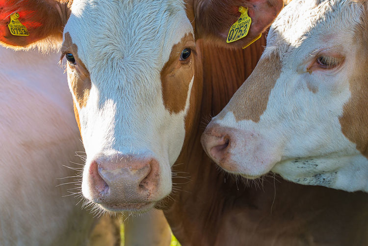 Cows! Animal Animal Head  Animal Themes Animals Brown Close-up Cow Cows Domestic Animals Farm Farm Life Friends Looking At Camera Mammal Moo Nature Two Animals White