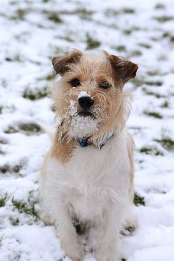 animal pose Animal Pose Animal Portrait Dog Dogs Dogs Of EyeEm Dogslife Jack Russell Snow ❄ It's A Dogs Life ❤ Dogs Of Winter Love Pets Snow Ear Cold Temperature Cheerful Beauty Winter Happiness Smiling Friendship