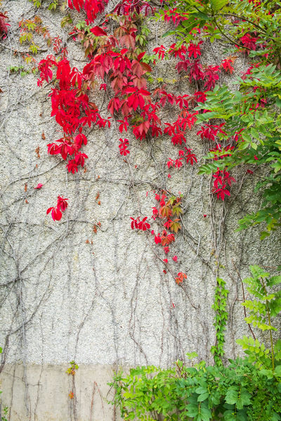 Autumn Autumn colors Autumn Leaves Autumn🍁🍁🍁 Autumn Collection Plant Red Growth Tree No People Day Nature Tree Trunk Close-up Outdoors Trunk Beauty In Nature Wall - Building Feature Freshness Flower Flowering Plant Leaf Ivy Plant Part Creeper Plant